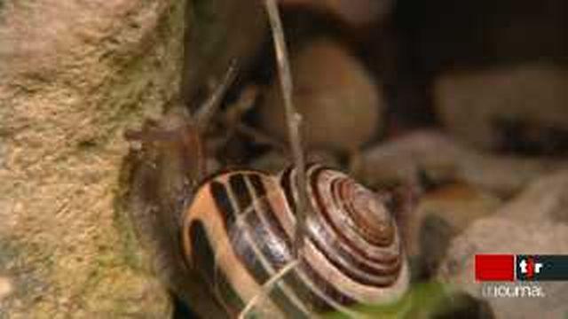 Suisse: un grand recensement d'escargots est organisé à l'occasion de l'année Darwin