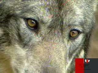 Berne pr pare l 39 arriv e de meutes de loups suisse - Office federal de l environnement ...