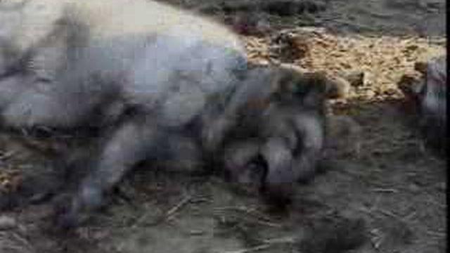 Un rapport dénonce le mauvais traitement imposé aux animaux utilisés pour leur fourrure