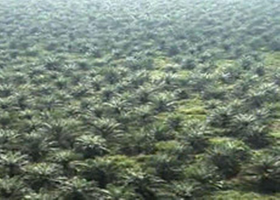 Des kilomètres carrés de palmiers remplacent les forêts