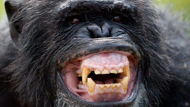 Ardi constitue un nouveau maillon avec l'ancêtre commun aux grands singes. [Reuters]