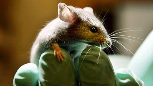 Le pancréas des souris étudiées rétablit naturellement la production d'insuline. [Keystone]