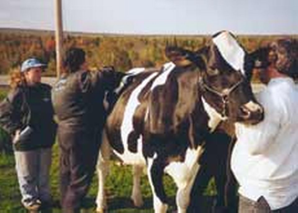 Préparation de la vache pour la séance photos