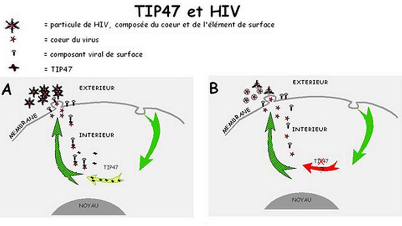 TIP47 facilite la production du virus HIV infectieux