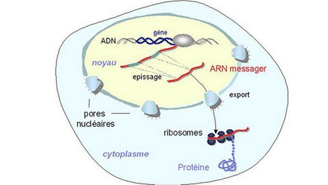 Le voyage de l'ARN messager