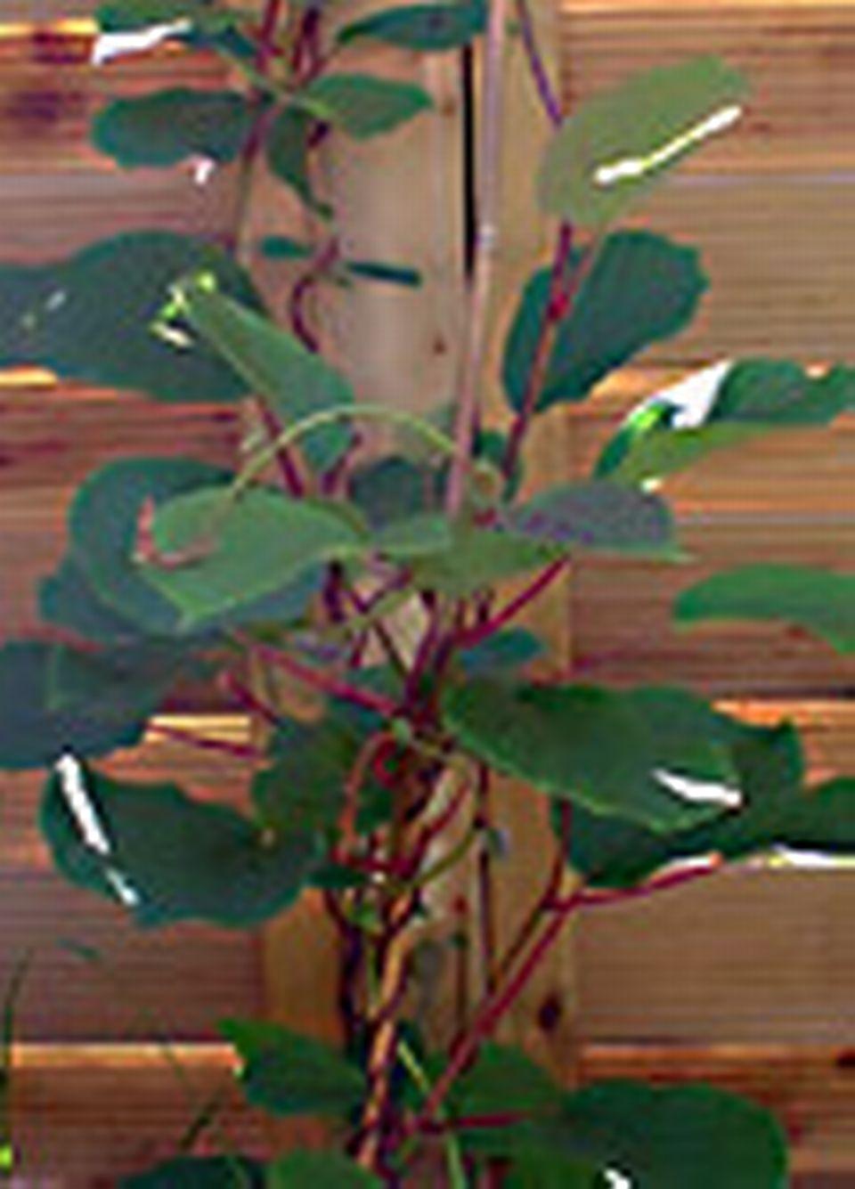 Palisser un kiwi 13 juin 2004 - Tuteur bambou gros diametre ...