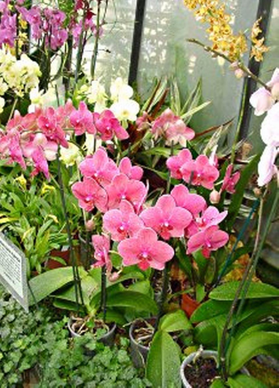 Les orchid es coupe de la hampe florale 25 avril 2010 - Peut on couper les racines des orchidees ...