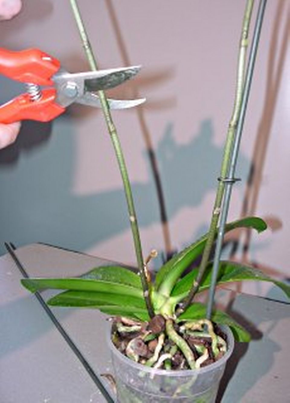 Les orchid es coupe de la hampe florale 25 avril 2010 - Doit on couper les tiges des orchidees ...