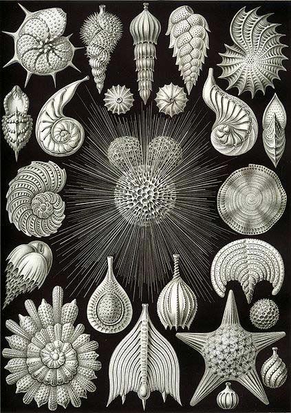 """Kunstformen der Natur"": des protistes peints par Ernst Haeckel en 1904. [wikimedia] [wikimedia]"