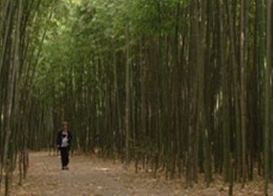 Une forêt de bambou
