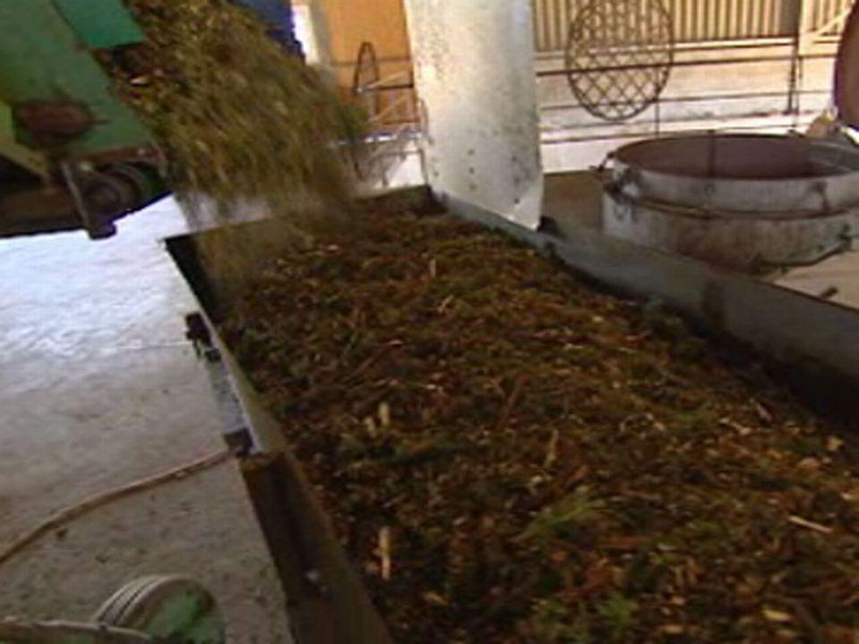 Les aiguilles des sapins fraîchement coupés sont récoltées