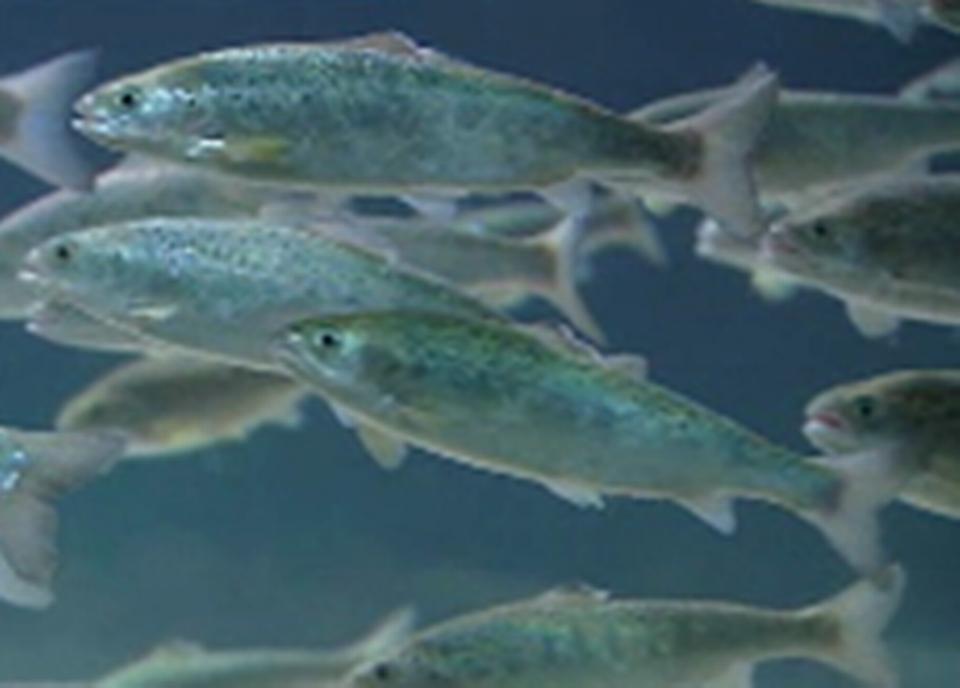 Le saumon d'élevage
