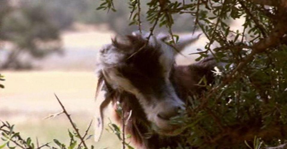 Les chèvres en raffolent