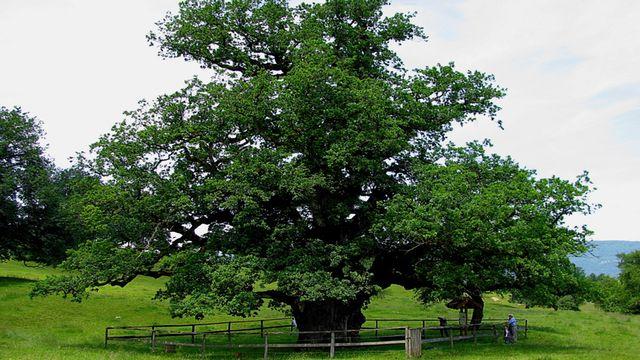 Le chêne millénaire de Châtillon. [juratourisme.ch]