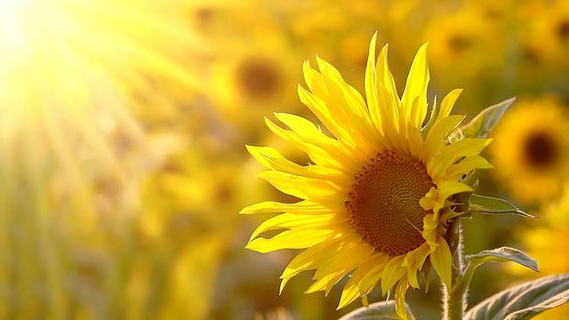 Le mouvement du tournesol vers le soleil. [joda - Fotolia]
