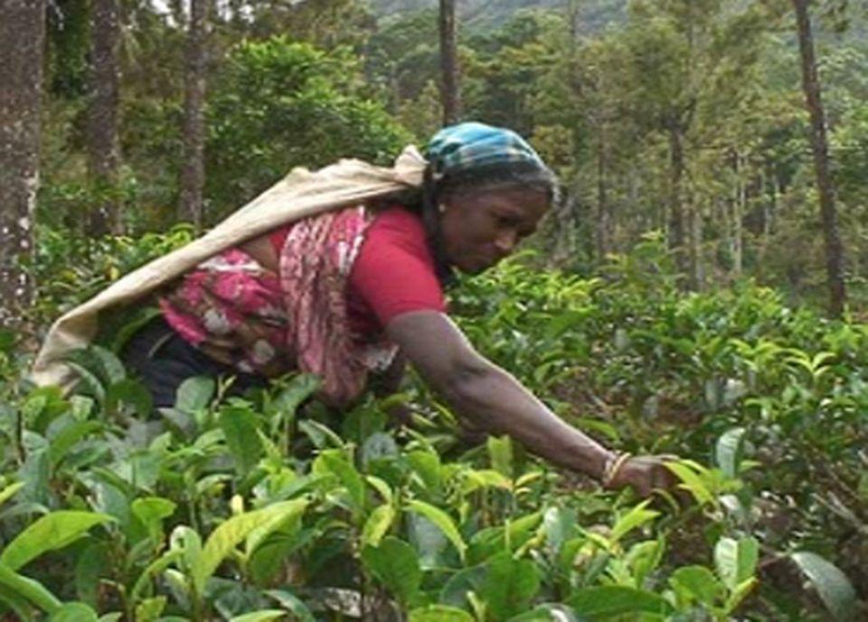 Cueilleuse de thé un métier difficile [TSR]
