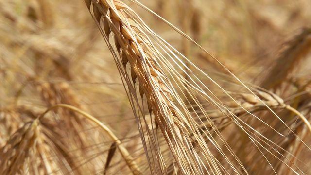 Les gens qui souffrent de la maladie coeliaque ont développé une intolérance au gluten, qui constitue environ 80% des protéines contenues dans le blé. [Philcopain - Fotolia]