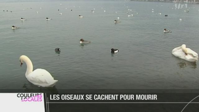 Les canards du lac Léman sont de plus en plus menacés par les activités humaines