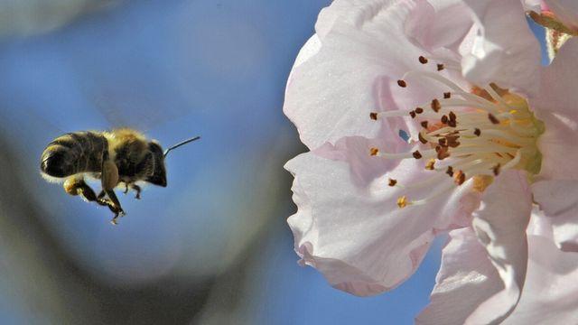 """Les abeilles sont capables de prendre en compte les relations entre des objets, telles que leur place """"au-dessus"""" ou """"en dessous"""". [Winfried Rothermel - Keystone]"""