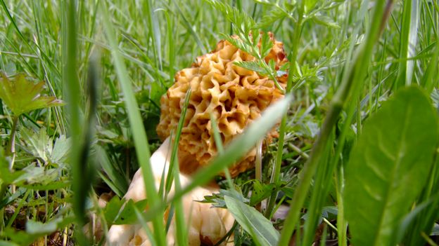 Des morilles agricultrices