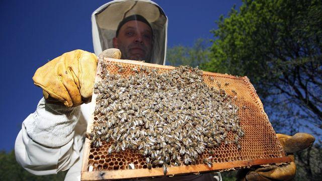Le syndrome d'effondrement des colonies d'abeilles constaté dans une grande partie du monde reste largement inexpliqué. [Axel Heimken - Keystone]