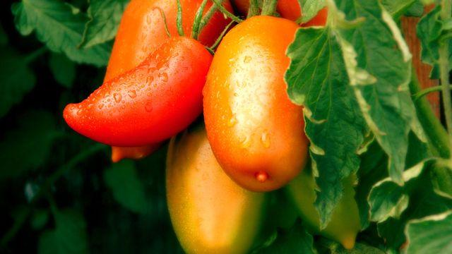 A Entressen, une vingtaine de fruits et légumes écoutent chaque jour quelques minutes de musique. [RippaVomBipa - Fotolia]