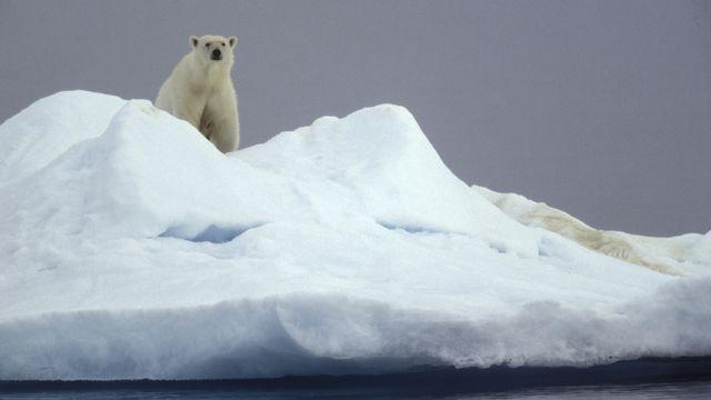 Le phytoplancton possède un rôle fondamental dans le cycle reproductif de nombreuses espèces, dont les ours polaires. [Sylvain Cordier - hemis.fr]