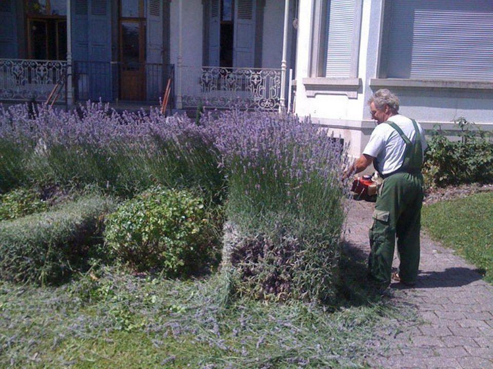 Monsieur jardinier emissions for Comment tailler les lavandes