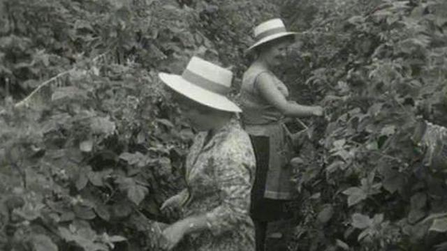 Cueillette des framboises en 1963. [RTS]
