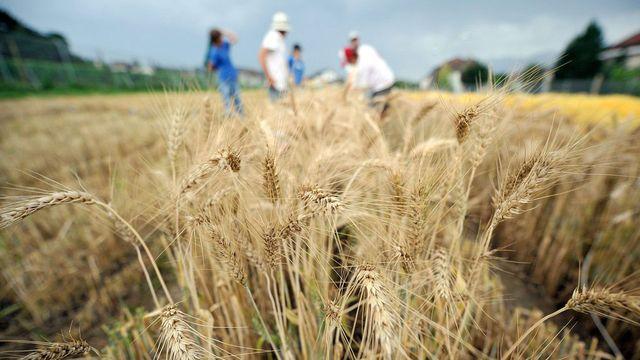 Des collaborateurs de la Station de recherche Agroscope de Changins récoltent le blé expérimental génétiquement modifié, à Pully. [Dominic Favre - Keystone]