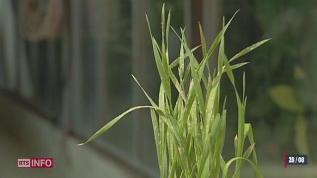 Les OGM ne nuiraient pas à la santé et à l'environnement selon le résultats de 30 études en Suisse durant quatre ans de recherches