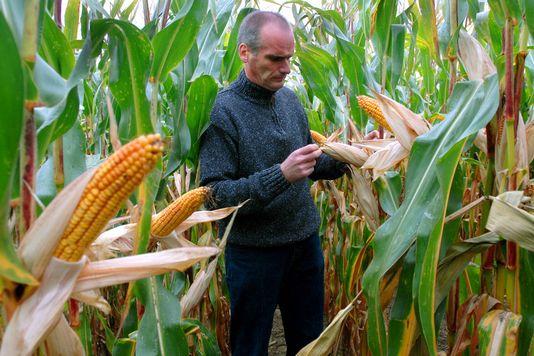 Un agriculteur dans un champ de maïs génétiquement modifié MON 810 de Monsanto en Allemagne. [AP Photo/Sven Kaestner - Keystone]