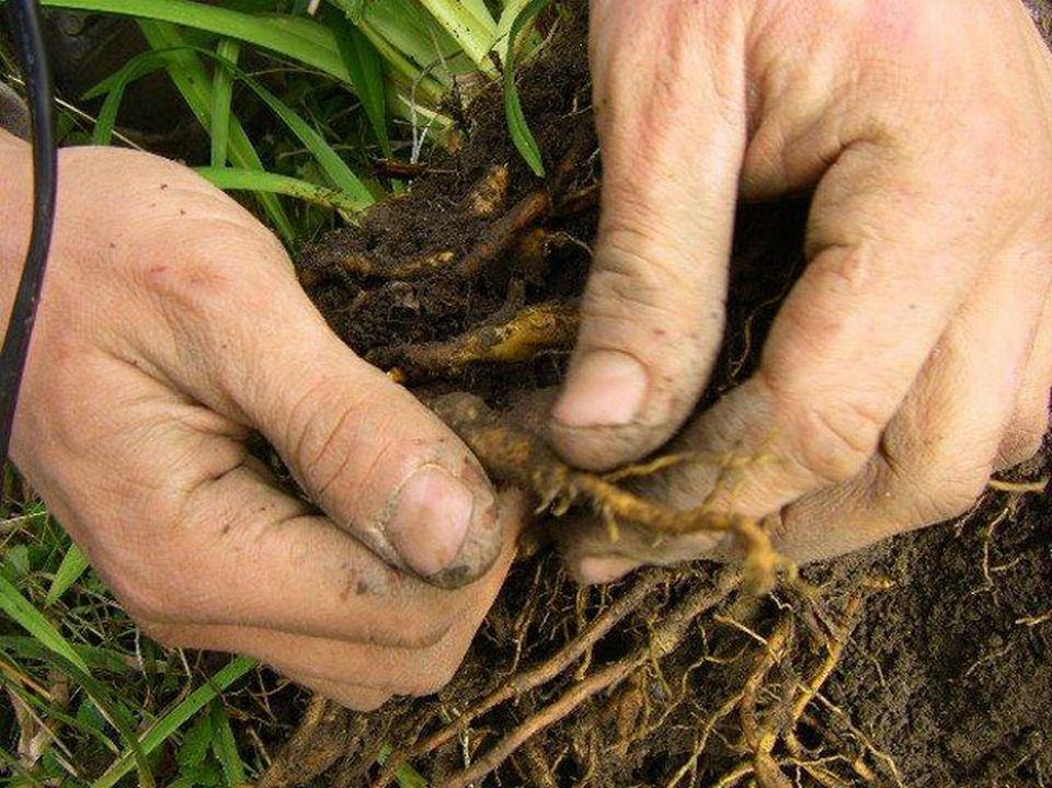 Les racines des Hemerocallis avant la division. [Isabelle Gendre]