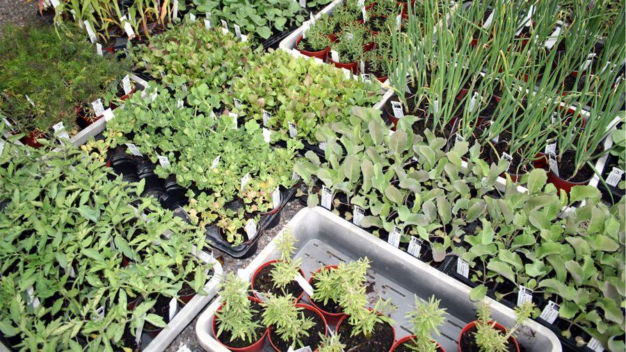 Une grande diversité de plantons est cultivée par la fondation ProSpecieRara.