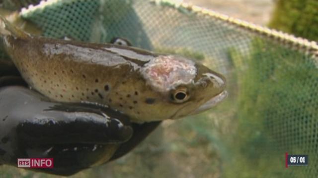 Le Roi du Doubs est une espèce de poisson menacée de disparition