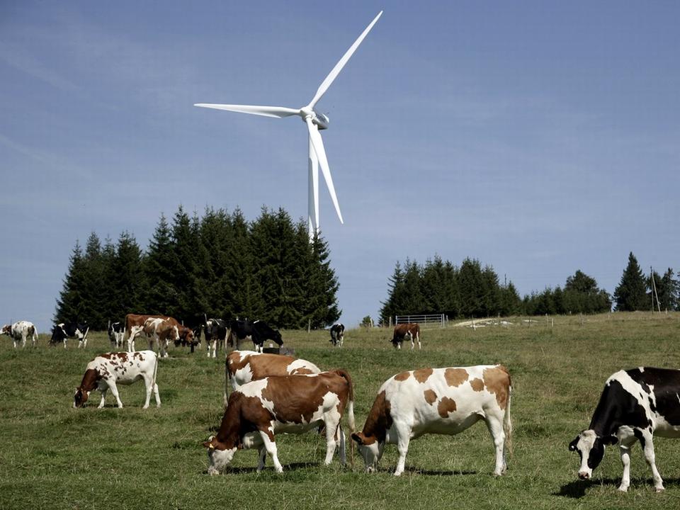 Au Mont-Crosin, dans le Jura bernois, les vaches paissent aux pieds des éoliennes. [Keystone]
