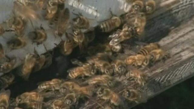 Etats-Unis : SOS abeilles