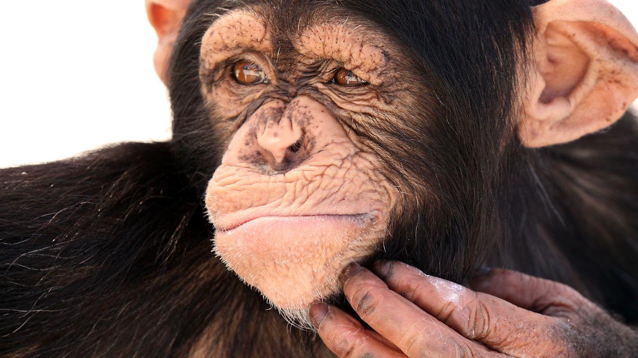 Chimpanzé [Megan Lorenz  - Fotolia]