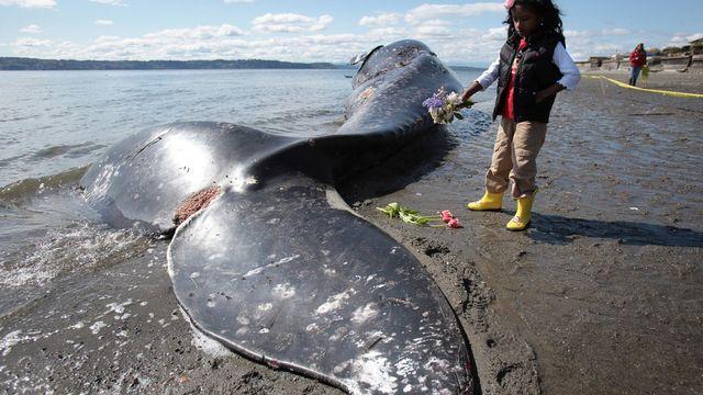 Une baleine grise échouée près de Seattle (USA) [Keystone]