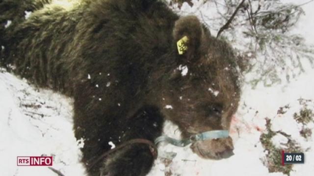 L'ours M-13 a été abattu moins d'une année après son arrivée en Suisse