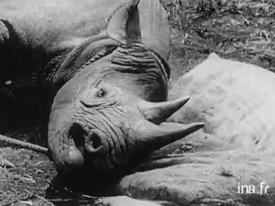 """Sauvetage d'un rhinocéros"". [INA]"