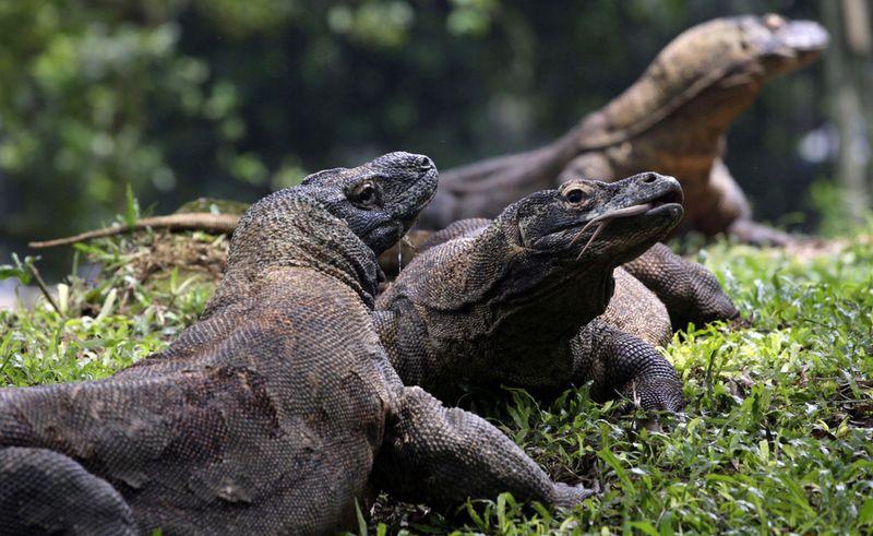 Les Dragons De Komodo Pourraient Etre Sauves Grace A 7
