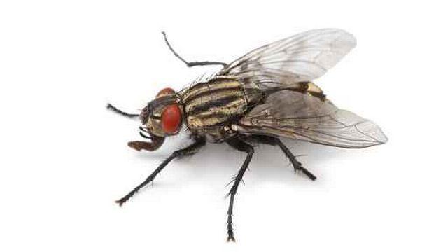 Une mouche. [fotolia]