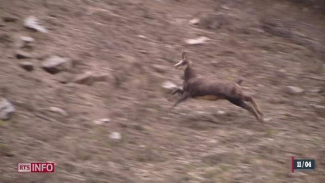 L'hiver et le froid qui se prolongent se révèlent fatals pour les animaux sauvages suisses [RTS]