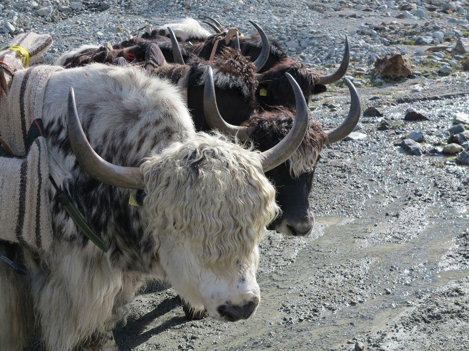 Les Yaks sur route du Cervin. [RTS]