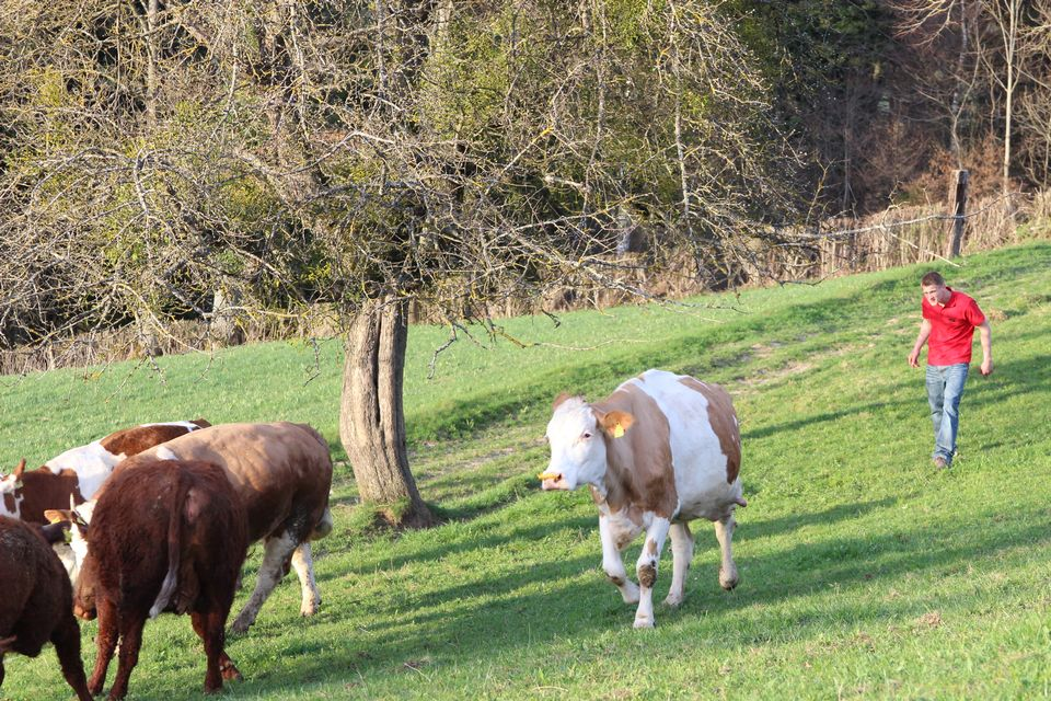 Stéphane fait rentrer les vaches dans son exploitation de Grandval. [RTS]