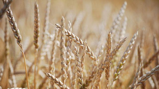 Le Jura veut interdire les OGM sur son sol. [Gaël Klein - RTS]