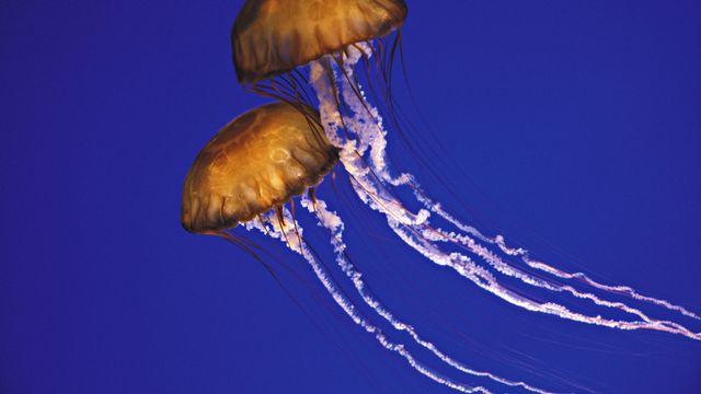 Deux méduses [Brandon Cole - AFP]
