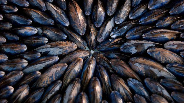 A l'IFREMER, les moules permettent l'archivage des pollutions marines. [Philip Lee Harvey - AFP]