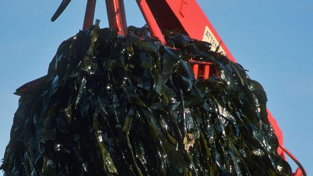 Les algues, une matière première prometteuse. [Dan Shannon - AFP]